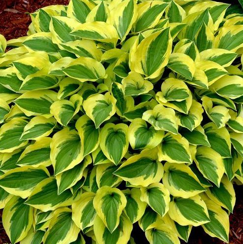 Hosta Grand Tiara pictures