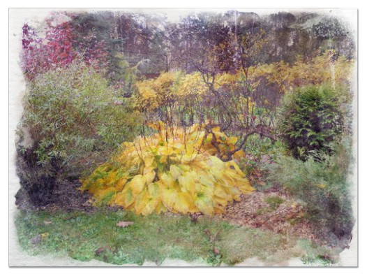 Hostas in Fall pictures