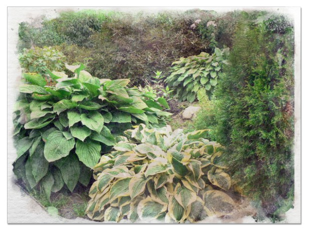 Giant Hostas pictures