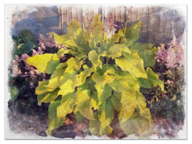 Hostas for sun pictures