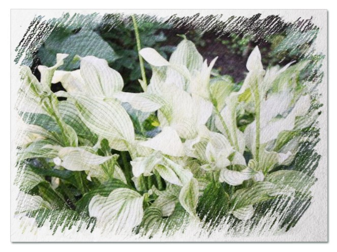 White Feather Hosta pictures