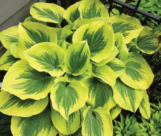 Hosta Majesty pictures