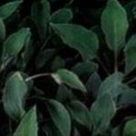 Abiqua Ground Cover