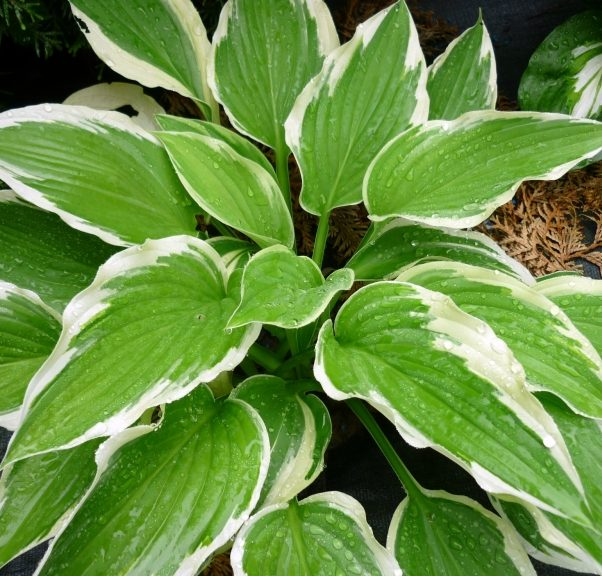 Hosta Antioch pictures