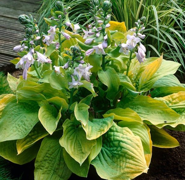 Hosta August Moon pictures