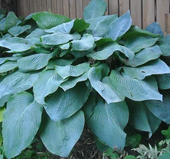 Hosta Big Daddy pictures