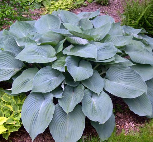 Hosta Blue Angel pictures