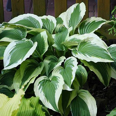 Hosta Ice Follies pictures