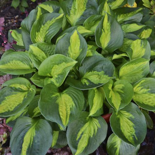 Hosta Pocketful of Sunshine pictures