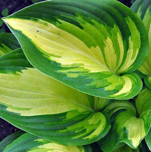 Hosta Rare Breed pictures