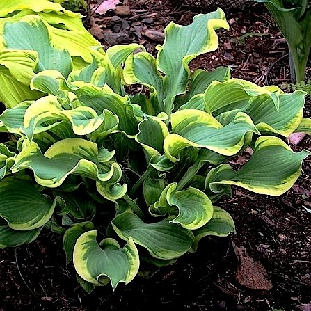 Hosta Wheee pictures