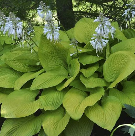 Hosta Key West pictures