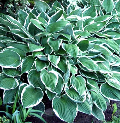 Hosta Crowned Imperial pictures