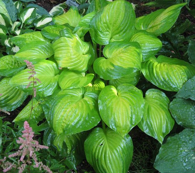 Hosta Dance With Me pictures