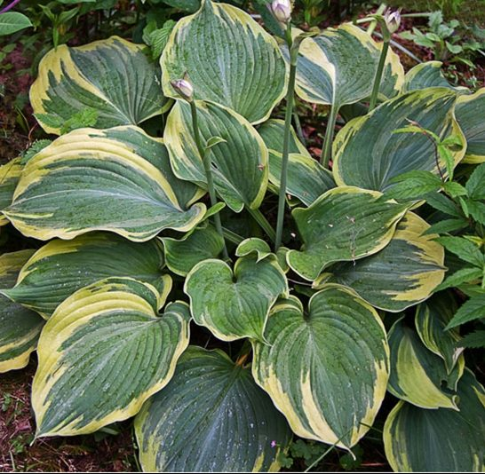 Hosta Earth Angel pictures