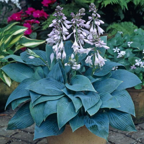 Hosta Halcyon pictures