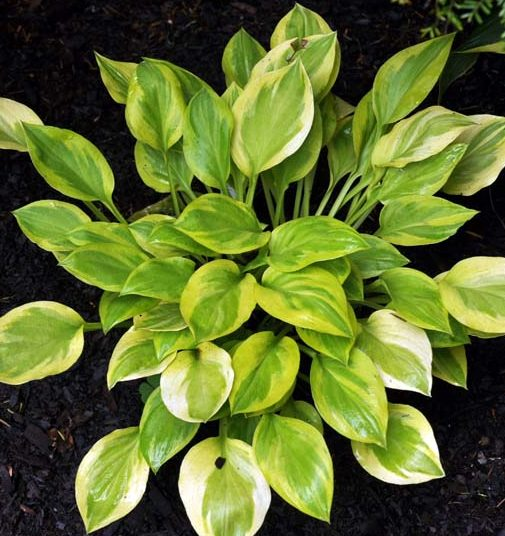 Hosta Heavenly Tiara pictures