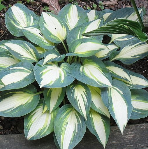 Hosta High Society pictures