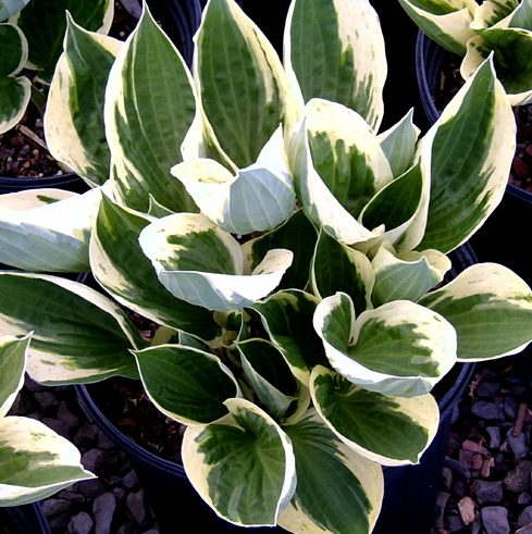 Hosta Independence pictures