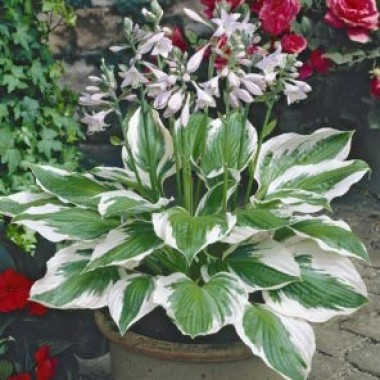 Hosta Patriot picture