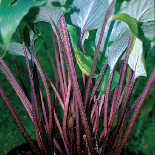 Hosta Red October picture