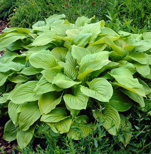 Hosta Royal Standard picture