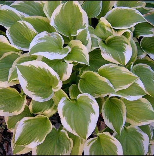 Hosta Shade Fanfare picture