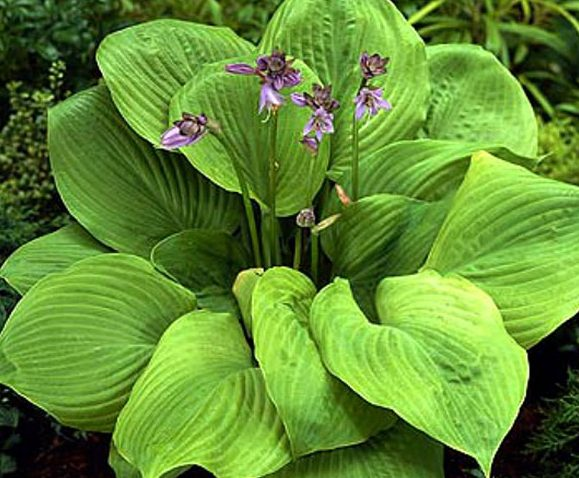 Hosta Sum and Substance picture