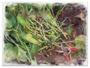 Pruning hostas pictures