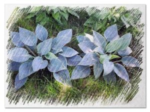 Blue hostas pictures