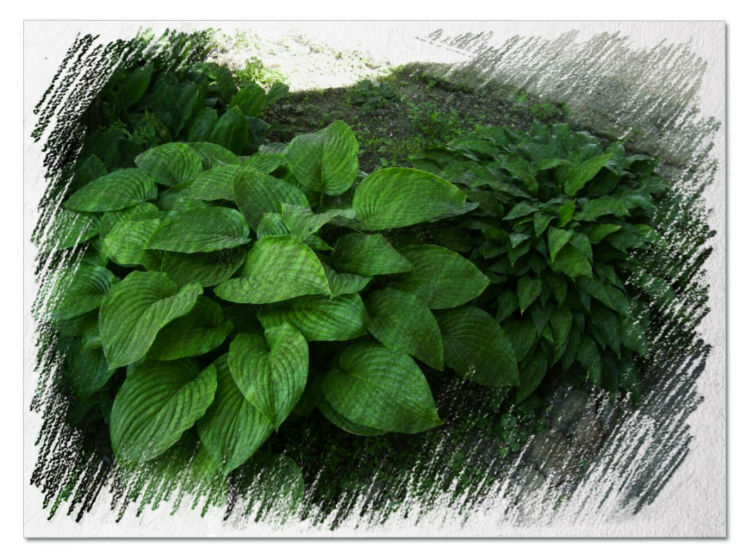 Hostas for shade pictures