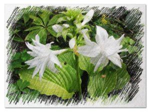 Hostas in bloom hosta flower varieties hostas with white flowers mightylinksfo