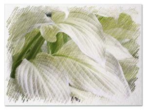 White hostas pictures