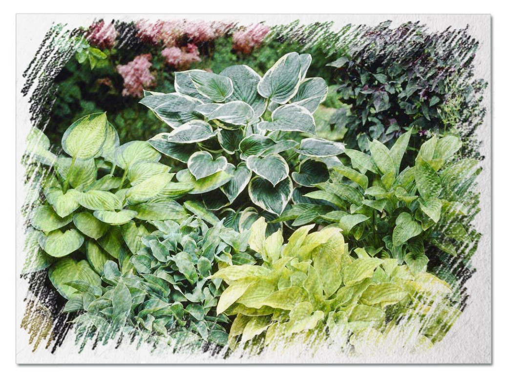 Types of hostas pictures