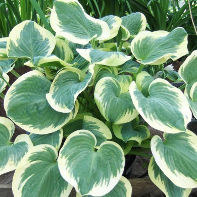 Hosta Barbara Ann pictures